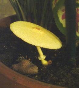 leucoprinus flos-sulfuris .jpg