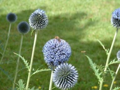 chardon et abeille.JPG