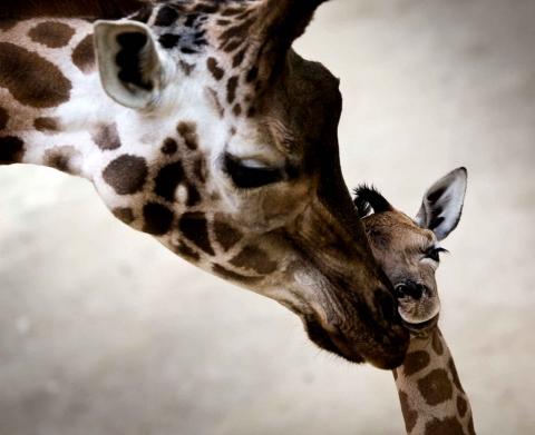 Girafe bébé.jpg