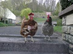 poules 004.jpg