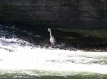 23.04.09 Une aigrette blanche sur les bords de la Moselle.jpg