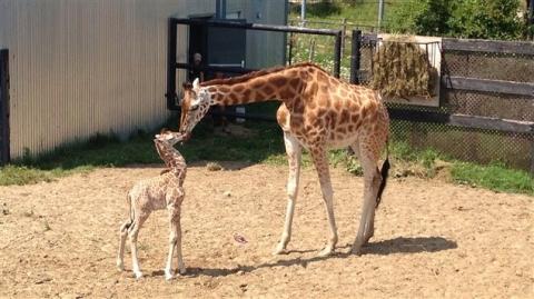 140804_o21ax_girafon-parc-safari_sn635.jpg